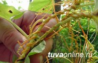 В Тес-Хемском районе Тувы снят карантнин на опасный сорняк