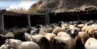 Минсельхозпрод Тувы проводит работу по улучшению продуктивности и племенных качеств местного скота