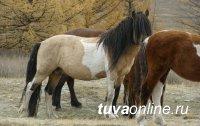 Происхождение тувинской лошади учёные исследуют по волосяному покрову
