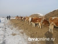 В Туве с начала года полицейские нашли и возвратили владельцам более 890 голов сельскохозяйственных животных, пропавших в результате бесконтрольного выпаса