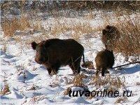 В Туве охотников призывают остерегаться больных кабанов