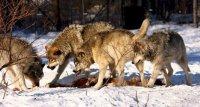 В преддверии зимы в Туве готовятся к борьбе с волками