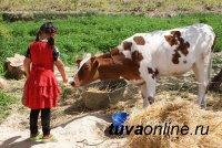 """В 2020 году """"корова-кормилица"""" появилась еще у 500 многодетных семей Тувы"""