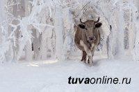 В Туве 11 забредших в лес коров разыскали полицейские и вернули хозяйке
