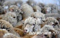 Поголовье мелкого рогатого скота в Туве в 2020 году выросло почти на 11%