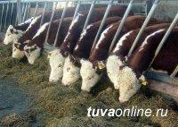 В Туве создают репродукторы по разведению племенного скота мясной герефордской породы