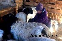 В Туве 75 студентов сельхозфакультета ТувГУ помогут чабанам пережить окотную кампанию