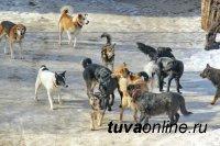 В Туве задаются вопросом – доколе проблему бродячих животных будут пускать на самотек