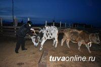 В Туве госавтоинспекторы призывают обозначать свой скот световозвращателями