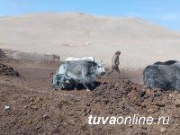 """В яководческом хозяйстве """"Адарган"""" приплод нынешней окотной кампании - 26 телят"""