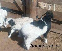 В Туве скрещивание местных овец с завезенными баранами-производителями улучшили породные качества приплода