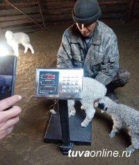 Специалисты Минсельхоза Тувы оценивают первый приплод от калмыцкой курдючной породы овец