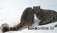 Потомство снежных барсов, выпущенных в Саяно-Шушенский заповедник при поддержке РГО, успешно пережило зимовку