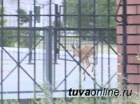 Косулю, оказавшуюся в столице Тувы, специалисты вернули в тайгу