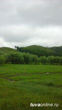 Специалисты Центра защиты леса Тувы провели инвентаризацию очага непарного шелкопряда