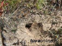 Выявлены факты повреждения лесов Тувы грызунами