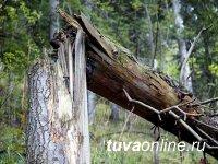В тувинской тайге от падения сосны погиб один человек, травмированы двое
