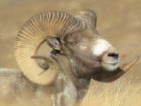 В российских регионах, в том числе и в Туве стартовал учет численности алтайского горного барана